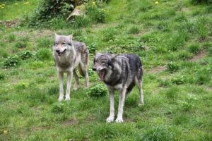 Es geht zur Wolfsfütterung